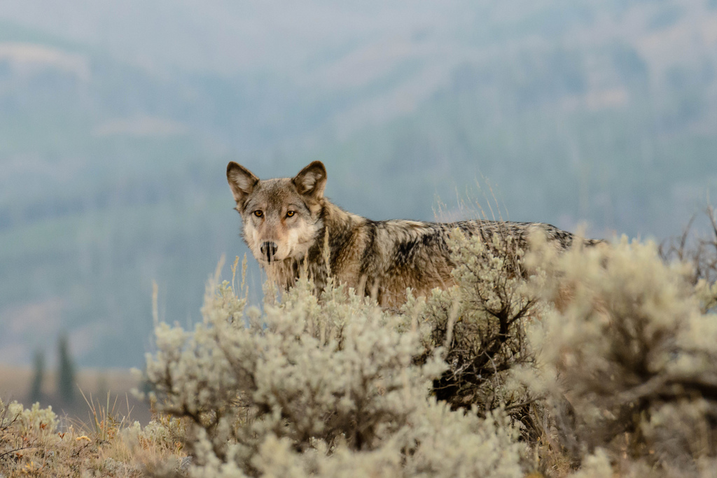 wolf in Lamar Valley