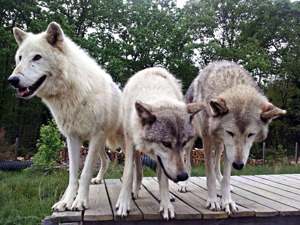 Ahote, Naiche and Takoda at Howling Woods Farm.