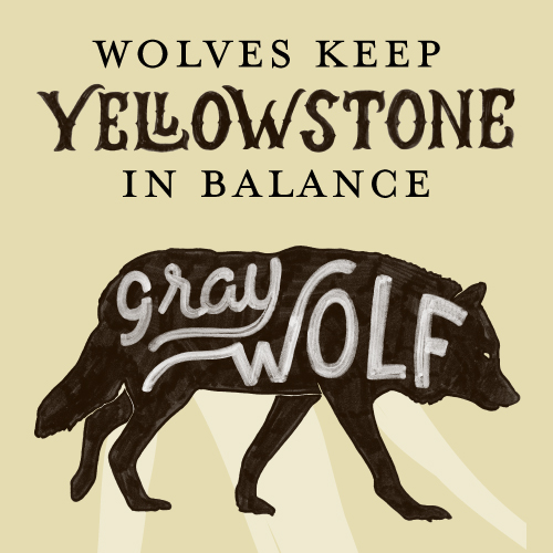 Wolves keep Yellowstone in Balance infographic