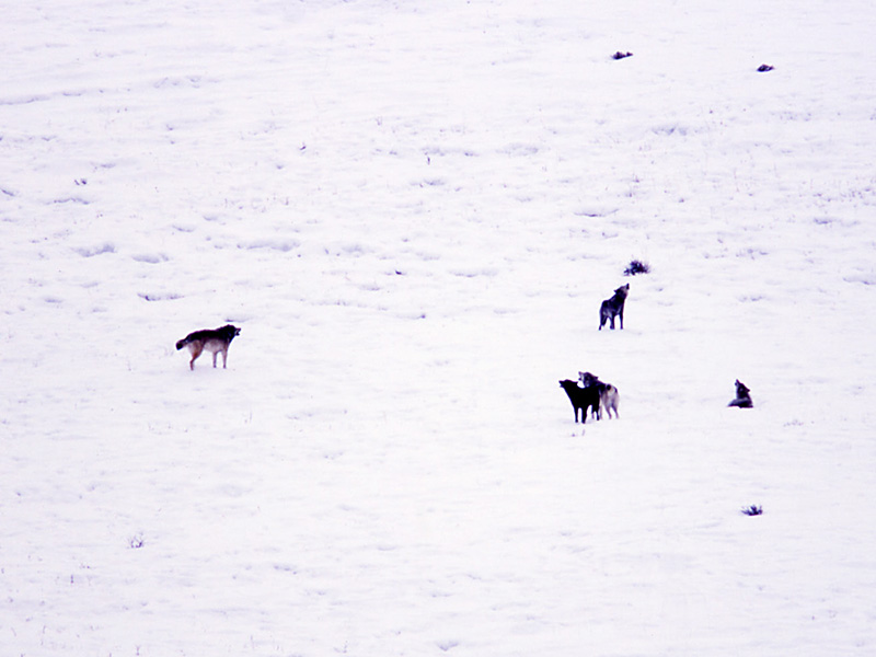 Wolves howling at Little America Flats in February 2003.