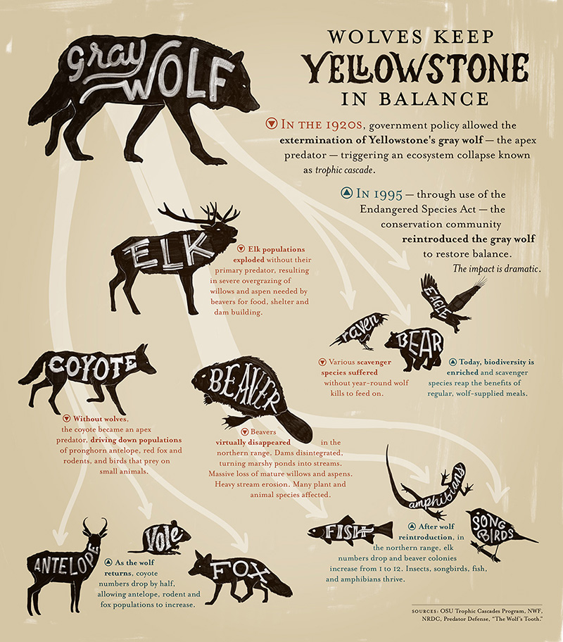 Wolves keep the Yellowstone ecosystem in balance.
