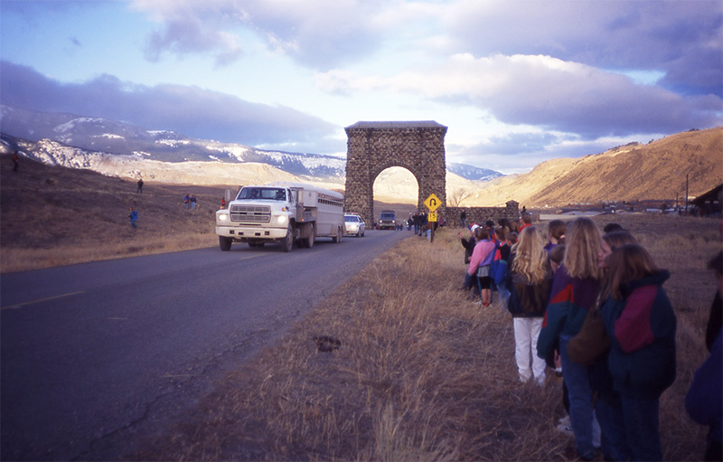 Schoolchildren at Yellowstone's Roosevelt Arch welcome a truck transporting wolves, January 1995.