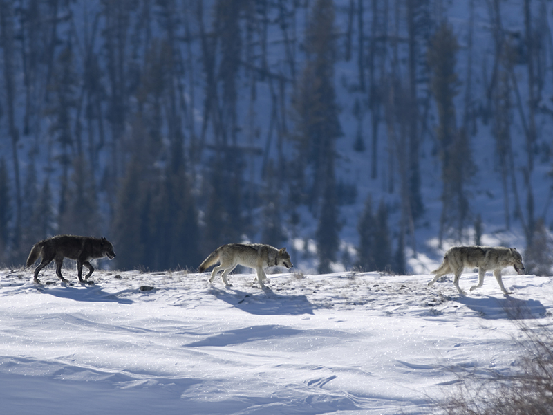 Three gray wolves in Yellowstone National Park.